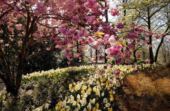 Kirschblüte Keukenhof